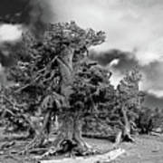 Twisted Old Bristlecone Pine Above Crater Lake - Oregon Print by Christine Till