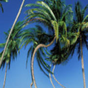 Twisted Palms On The Island Of Trinidad Art Print