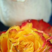Two Beautiful Roses Art Print