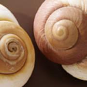 Two Brown Shells Art Print