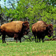Two Buffalo Art Print