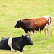 Two Bulls In A Pasture Art Print