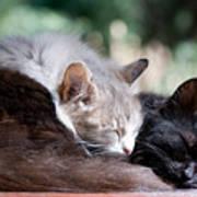 Two Cats  Sleeping  Art Print