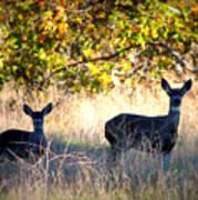 Two Deer In Autumn Meadow Art Print