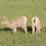 Two Ewes In The Badlands Art Print