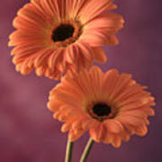 Two Gerberas 2 Art Print