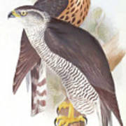 Two Goshawks Art Print