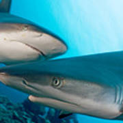 Two Gray Reef Sharks Art Print by Dave Fleetham - Printscapes