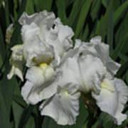 Two Irises Art Print
