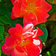 Two Joseph's Coat Roses At Pilgrim Place In Claremont-california Art Print