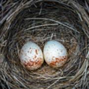 Two Junco Eggs In The Nest Art Print