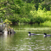 Two Loons Near Old Stump Art Print