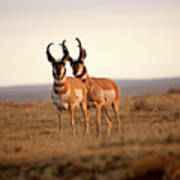 Two Male Pronghorn Antelopes In Alberta Art Print