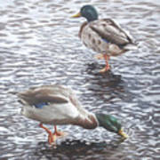 Two Mallard Ducks Standing In Water Art Print