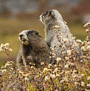 Two Marmots Art Print