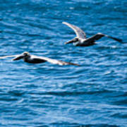 Two Pelicans Flying Art Print