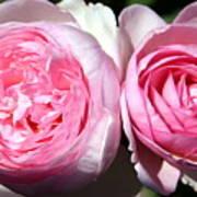 Two Pink Roses Art Print