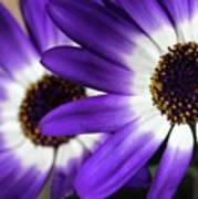 Two Purple N White Daisies Art Print