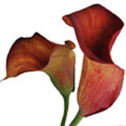 Two Rust Calla Lilies Square Art Print