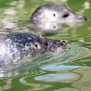 Two Seal Swimming Nature Scene Art Print