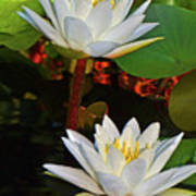 Two Water Lilies 004 Art Print