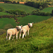 Two Welsh Lambs Art Print