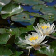 Two White Water Lilies Art Print