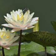 Two Yellow Water Lilies Art Print