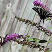 Two Zebra Swallowtail Butterflies Art Print