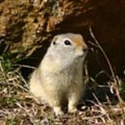 Uinta Ground Squirrel Art Print