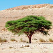 Umbrella Thorn Acacia, Negev Israel Art Print