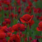 Umbria  Poppies 2 Art Print