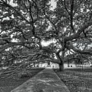 Under The Century Tree - Black And White Art Print