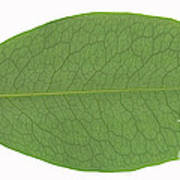 Underside Of A Coca Leaf, Erythroxylon Art Print