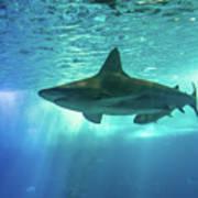 Underwater White Shark Art Print