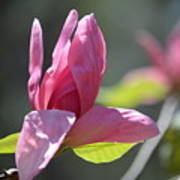 Unfolding - Star Magnolia Art Print