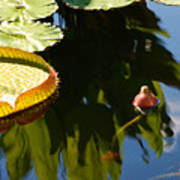 Unopened Water Lily And Reflections Art Print