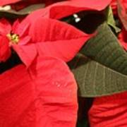Up Close And Personal Poinsettia  Art Print