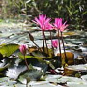 Up Close Water Lilies  Art Print