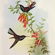 Urochroa Bougieri Art Print