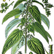 Urtica Dioica, Often Called Common Nettle Or Stinging Nettle Art Print