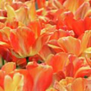 United States Capital Tulips Art Print