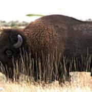 Utah Bison  Art Print
