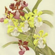 Vanda Insignis And Var Scroederiana  Art Print