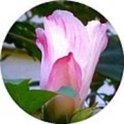 Variegated Hibiscus Flower In Circle Art Print