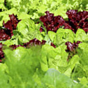 Vegetable Garden  Art Print