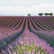 Velours De Lavender Art Print