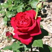 Velvet Red Rose Art Print