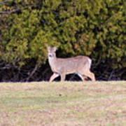 Vermont White-tailed Deer  Art Print