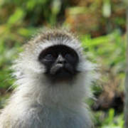 Vervet Monkey Art Print